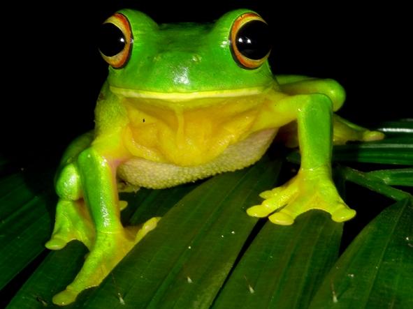 daintreee_frog