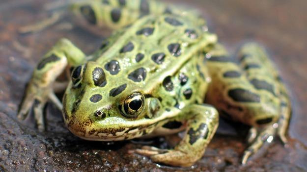 leopard-frog