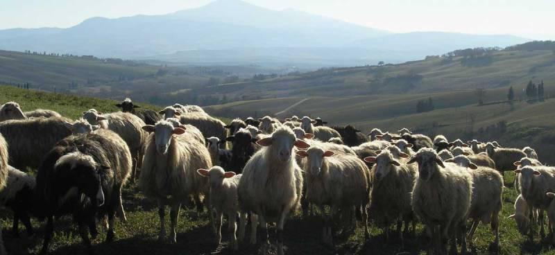 pienza sheep